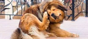Read more about the article Πως μπορώ να απαλλάξω το σκύλο μου από τους ψύλλους