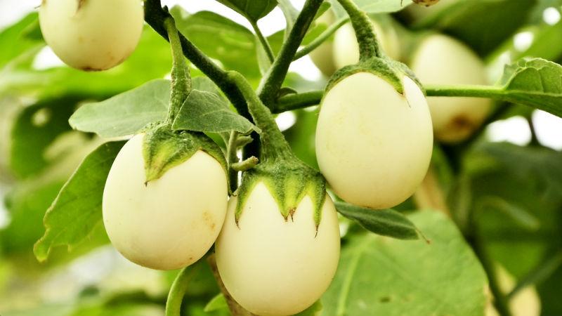 Γλυκό του κουταλιού με λευκή μελιτζάνα