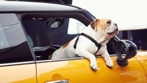 Γιατί δεν πρέπει να οδηγείς με τον σκύλο σου στη θέση του συνοδηγού;