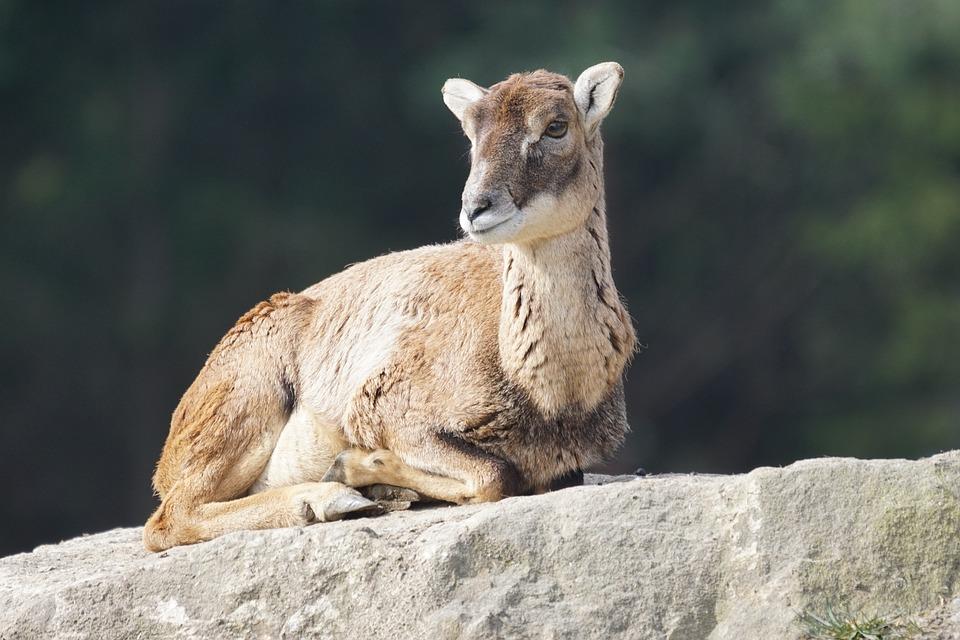 Το άγριο πρόβατο mouflon!