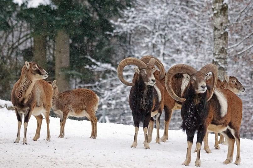 Το άγριο πρόβατο mouflon