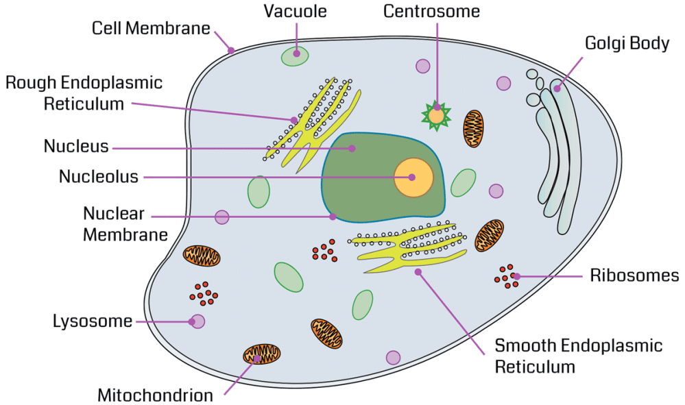 medium resolution of review the major organelles and their functions as you point to each structure in the diagram