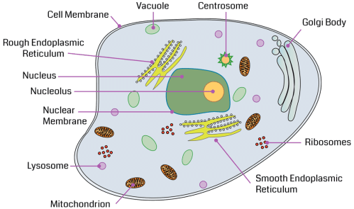 small resolution of review the major organelles and their functions as you point to each structure in the diagram
