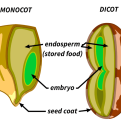 Inside A Lima Bean Diagram 6m Fishbone Template Reach For The Sun Lesson 3 Plant Life Cycles And Reproduction Briefly Review Procedure Then Have Students Complete Steps 1 Through With Partner When They Finished Sealing Their Baggies Will