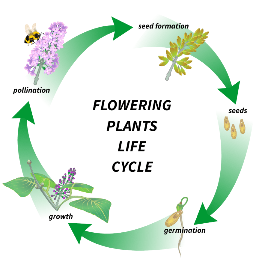 sunflower plant life cycle diagram seat ibiza mk4 wiring reach for the sun lesson 3 cycles and reproduction filament games