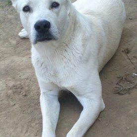 Rüde aus der Zucht von Casa da Praia keine Stromung vorhanden, jedoch genetisch rezessive Stromung. Ein Sohn aus mindestens 10 Generationen gestromter Hunde. Er ist dennoch vollständig pigmentiert und (genetisch) nicht einfarbig.