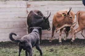 Wenden der Rinder