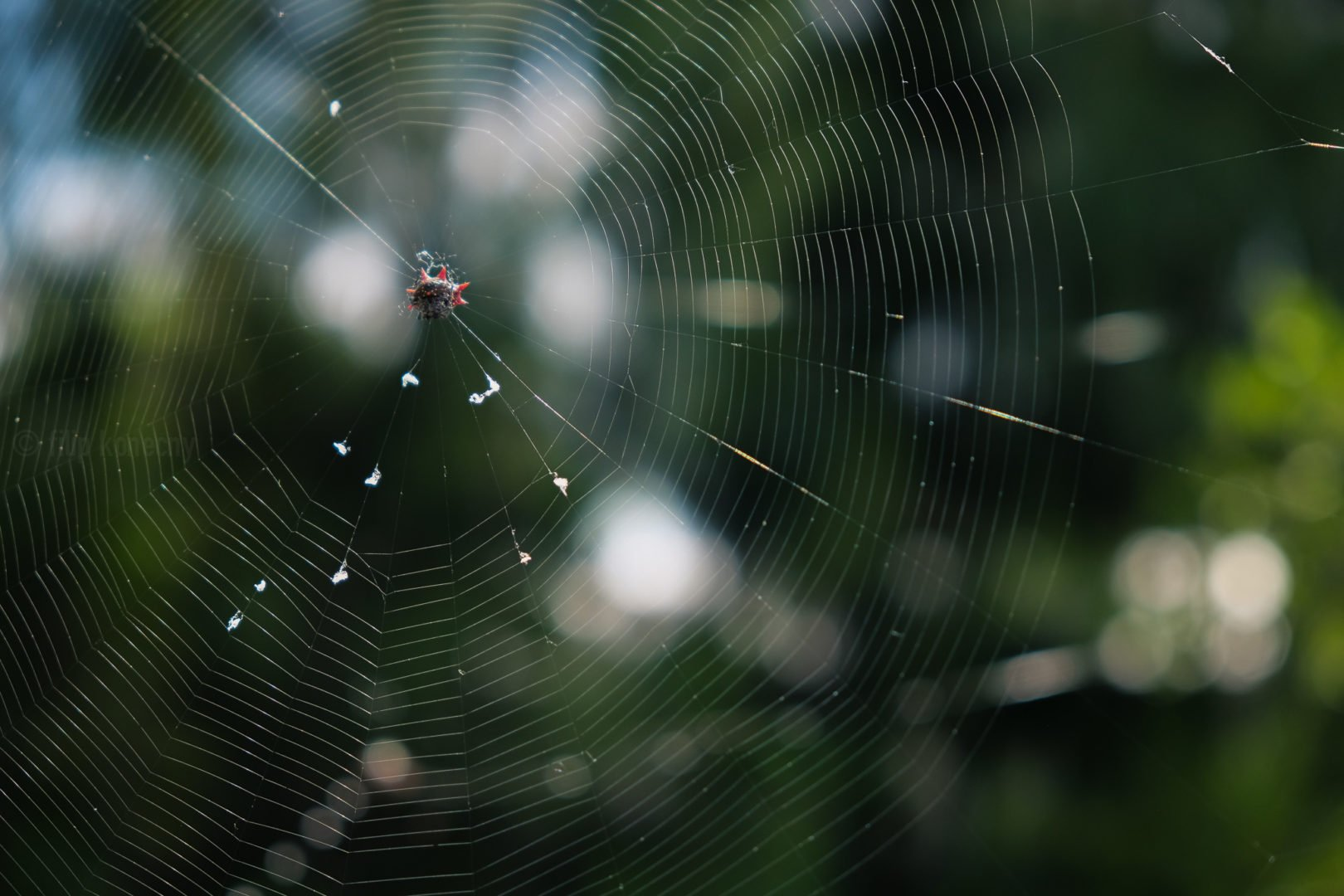 spiny orb weaver on his web