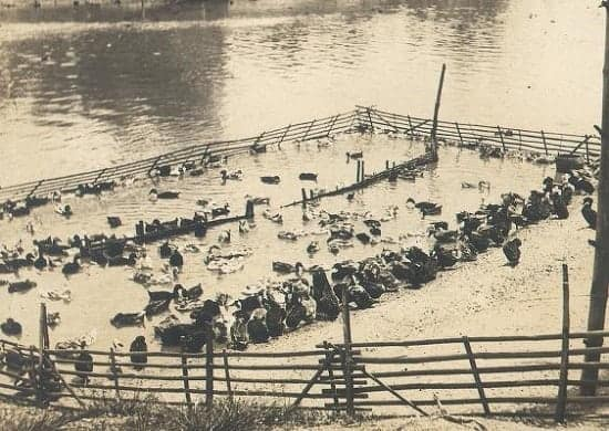 Duck farming in Pasig River