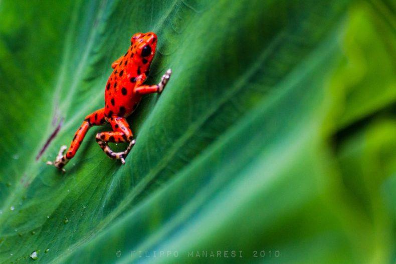 red frog, nature, leaf, Bastimentos Island, Bocas del Toro, Oophaga pumilio, strawberry poison-dart frog