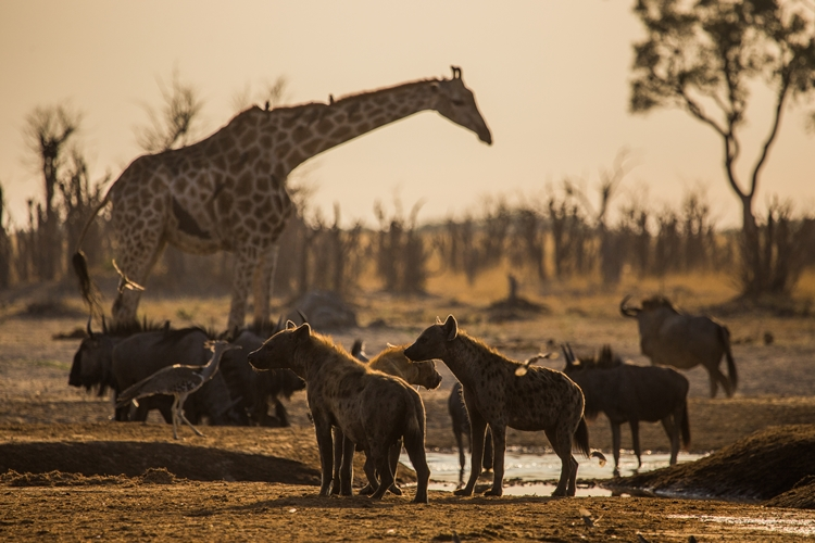 Botswana - Hyenas stand alert at the water hole at Marabou Pan with wildebeest, a kori bustard and a giraffe in the background. (NHFU)