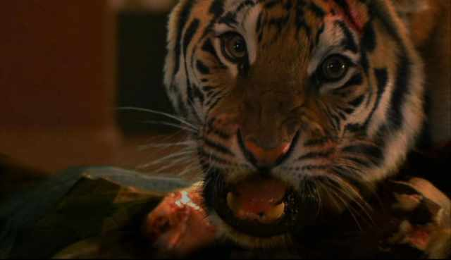 Burning Bright (2010) – Real Tiger Facts!