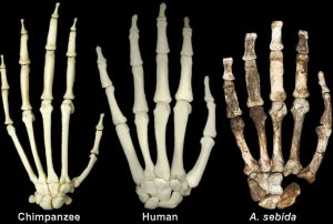 The mosaic fossil Australopithecus sediba compared with chimps and humans