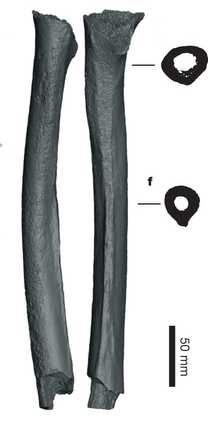 The Siberian femur which revealed ancient interbreeding