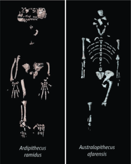 Ardi, the most complete Ardipithecus skeleton (left) and Lucy (right)