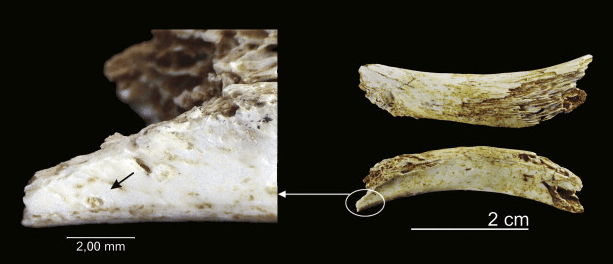 A Homo antecessor rib with a pit that looks suspiciously like it was caused by a Homo antecessor tooth.