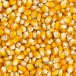 Kigali -EAX:1000 tonnes de maïs aux enchères