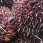 L'huile de palme, enjeux de développement en Afrique