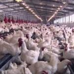 Aviculture: Seaboard Corporation dans le capital de Zalagh Holding (Maroc)