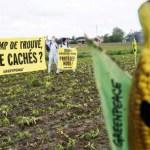 Monsanto Company : Le maïs OGM MON810 reste interdit en France