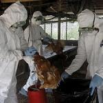 Cameroun- la grippe aviaire a causé 10 milliards de Fcfa de pertes à la filière avicole