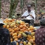 Côte d'ivoire : Barry Callebaut, SFI et IDH bancarisent les cacaoculteurs