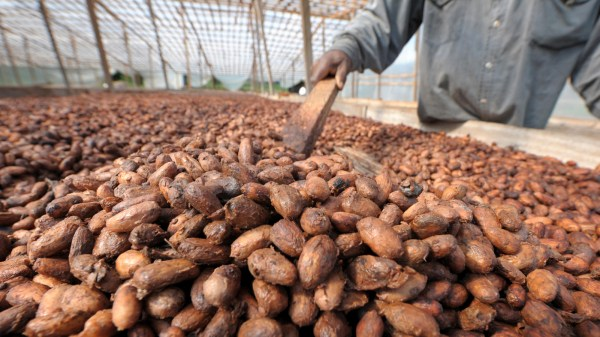 A laborer rakes cacao beans on a plantation in Toumokro, Ivory Coast in 2008.