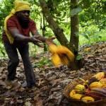 Cacao: l'espoir du Ghana et de la Côte d'Ivoire suspendu au vent de l'harmattan