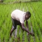 Guinée-Bissau: la BAD appuie la filière rizicole
