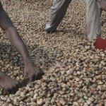 Guinée Bissau: les exportations de noix de cajou en hausse en 2017
