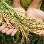 Sénégal/riz: une autosuffisance pas encore atteinte