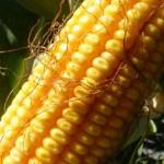 Production de maïs: 2017 de bon augure pour le Zimbabwe