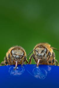 bees sipping