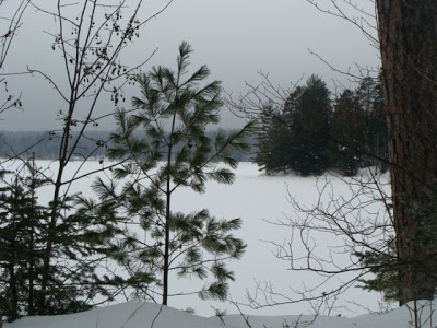 young white pine
