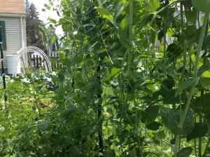 How to Grow Peas in a Garden