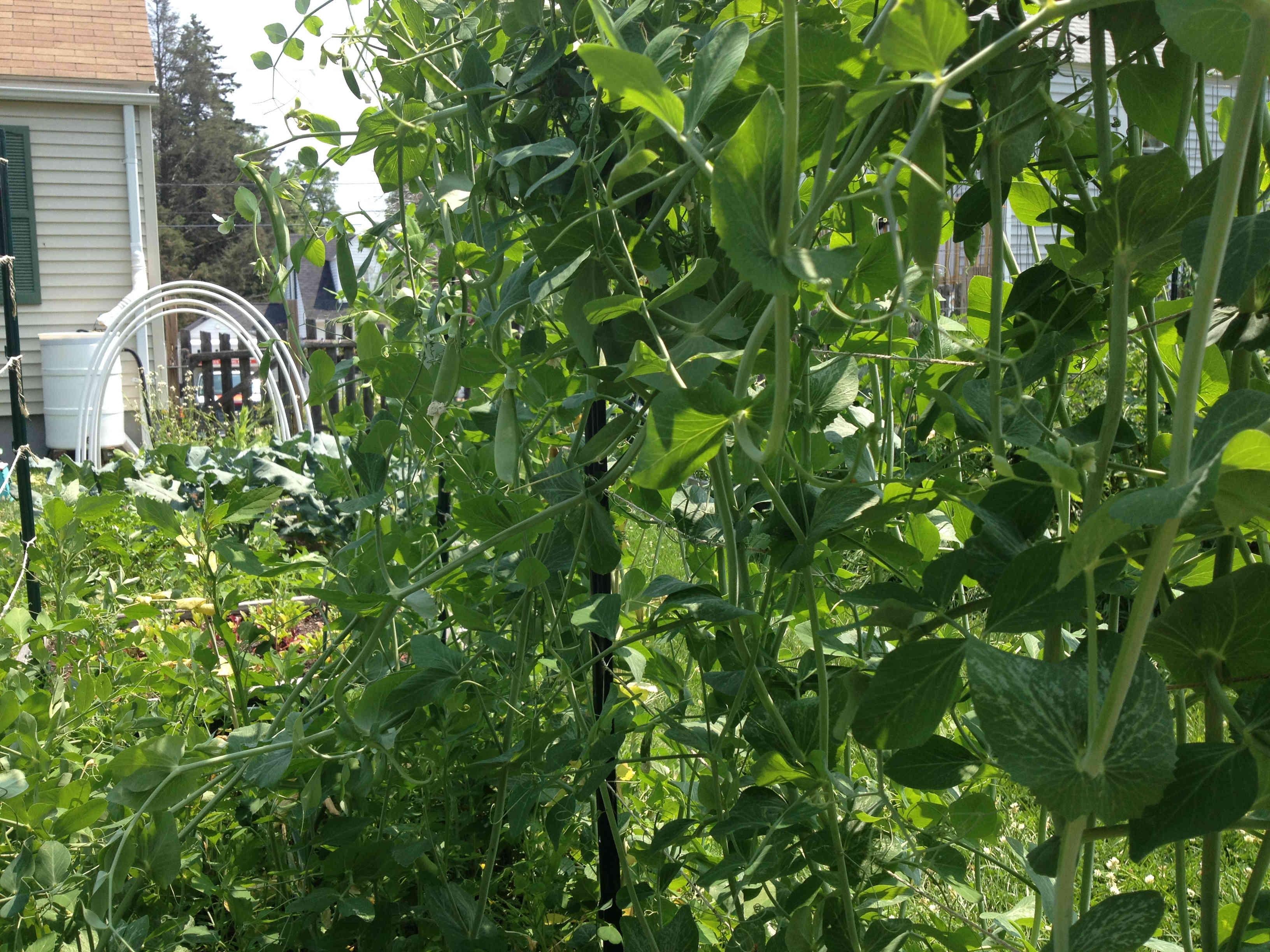 peas bush