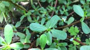 Foraging and Eating Purslane a Nutrient Powerhouse