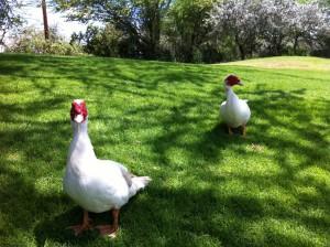 Golfing-ducks