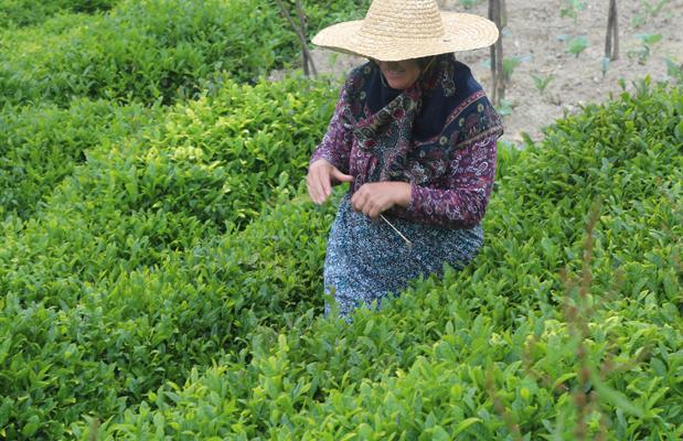 3jpg uOnUJ - Karadeniz'e çay hasadı döneminde gelecek işçi ve üreticiye 10 gün izolasyon şartı
