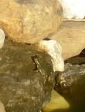 Cinq grenouilles peuplent la petite mare.