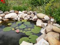potager mai lotus grenouille