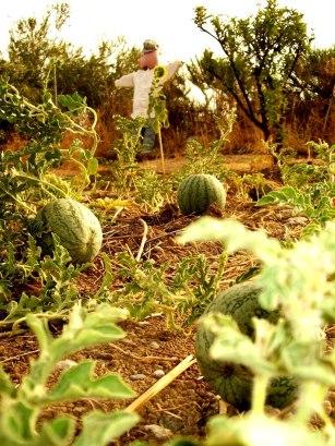 potager melons epouvantail