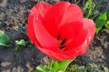 Nochj eine rote Tulpe