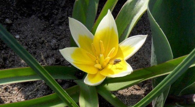 Blüte Botanische Tulpe 2014