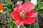 und noch eine rote Tulpe