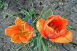Orangene Tulpen