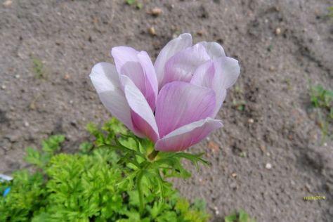 Anemone Blüte Rosa und weiß