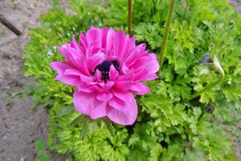 Anemone gefüllt Dunkles Rosa