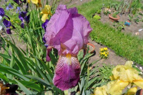 Schwertlilienblüte Lila