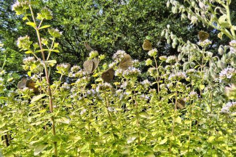 Oregano mit Schmetterlingen